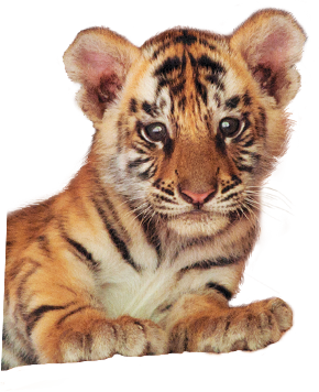 bb_tigre